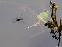 Jesus Bug On The Water Surface...