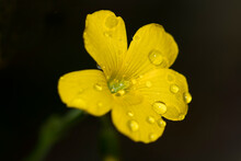 Yellow Wood Sorrel Flower With Water Drops