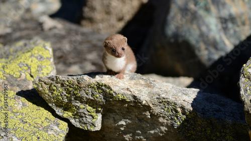 Stampa su Tela Ermine - Vanoise national park