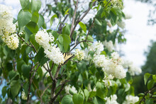 White Lilac Flowers With An Ea...
