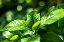 Fresh Green Leaves, Close Up I...