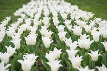 White Flowers In Field. Landsc...