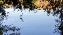 Great Blue Heron Wading In Lake
