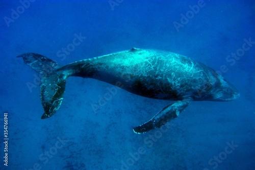 Photo Large blue whale