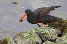 Black Oystercatcher With Mussel Prey