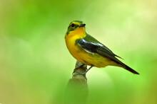 Beautiful Yellow Bird Has Gree...