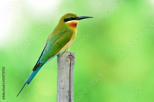 Foto Blue-tailed bee-eater (Merops philippinus) fine green to brown bird with  long b