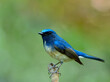 Hainan blue flycatcher (Cyornis hainanus) beautiful bird perching on wood branch expose over blur green and fire bacground, fascinated animal