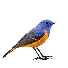 Male Of Blue-fronted Redstart ...