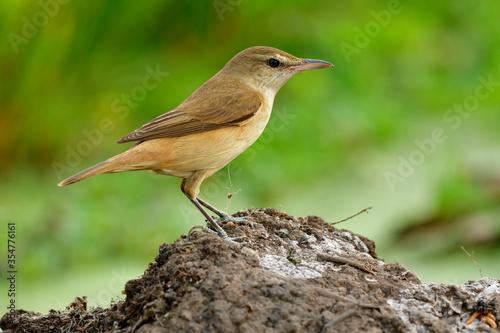 Photo Oriental reed warbler (Acrocephalus orientalis) passerine brown bird in genus Ac