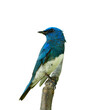 Zappey's flycatcher (Cyanoptila cumatilis) amazed bright blue bird with white belly perching on wooden branch isolated on white background, pretty wild bird