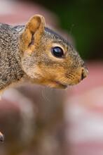 Fox Squirrel Profile