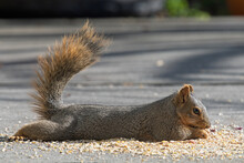 Fox Squirrel Lying Down Eating Nuts And Seeds