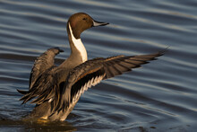 Northern Pintail Male Duck Fin...