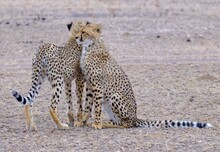Two Cheetahs Standing Next To ...