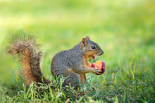 Squirrel (Sciurus Niger) Mouth Open Eating Peach Fruit In The Garden. Natural Green Background With Copy Space.