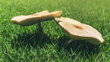 Fairy Ring Mushrooms Growing On Green Grass Field