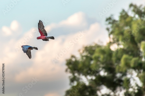 Colorful parrots flying in Victoria, Australia at a cloudy day in summer Fototapete