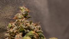 Cannabis Marijuana Weed Bud Macro Close Up
