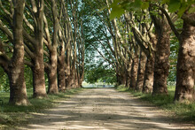 Avenue Of Old Trees In A Park,...