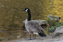 Canada Goose Standing On Rocks...