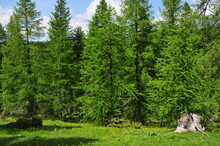 Forest Of European Larch Conif...