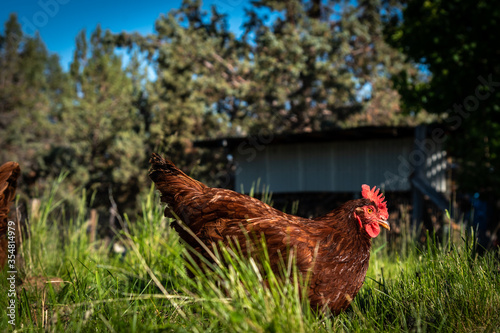 Photographie A beautiful red free range hen laying in lush green sun liit grass with a wood s