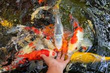 Feeding Koi Fish Carp By Hand ...