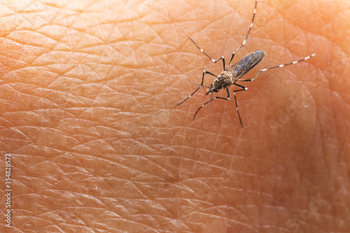 Aedes aegypti or yellow fever mosquito sucking blood on skin,Macro close up show Wallpaper Mural