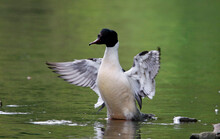 Male Goosander Bathing And Pre...
