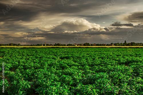 Fototapeta pole ziemniaków i burzowe chmury obraz