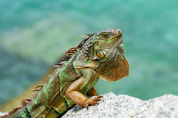 Green iguana also known as the American iguana is a lizard reptile in the genus Iguana in the iguana family.