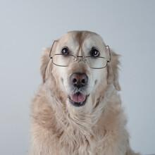Retrato Perro De Raza Golden R...