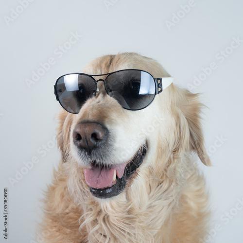 Retrato perro de raza Golden retriever  con gafas Canvas Print