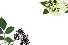 Frame Of Blossom And Fruit Black Elderberry (Sambucus Nigra) On A White Background With Space For Text. Common Names: Elder, Black Elder, European Elder And European Black Elderberry