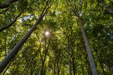 Beech Forest In Jasmund Nation...