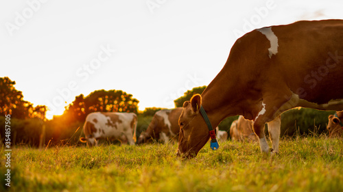 Cows in the field durring sunset in Guernsey Fototapet