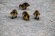 Mallard Duck. Shallow Depth Of...
