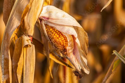 Fototapeta mais, pannocchia, grano turco