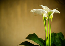 Bouquet Of Calla Flowers With ...