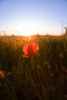 Mohnblume im Feld