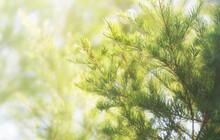 Narrow-leaved Paperbark Tea Tree (Melaleuca Alternifolia)