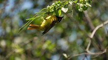 Male Masked Weaver Bird Weaves A New Nest With Beak Between Branches On A Tree
