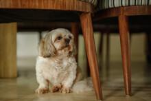 Little Cute Dog Puppy Hiding Under The Chair. Shih Tzu Puppy  Sitting Under The Chair At Home