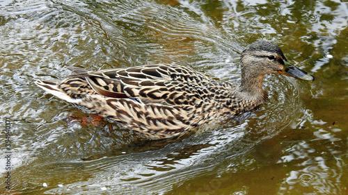 ptak kaczka krzyzowka wraz z piskletami w nurcie rzeki biala w miescie bialystok na podlasiu w polsce - fototapety na wymiar