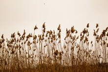 Dry Bulrush Against The Gray Sky
