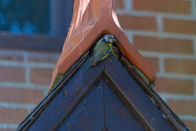 Close Up Low Angle View Of Blue Tit Feeding Chicks In Roof Space Of Old Architecture Builing