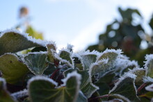 Ivy Bordered With Hoarfrost In...