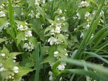 Common Nettle, Stinging Nettle. Nettle Flowers