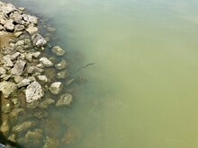 Water Snake Swimming In Lake